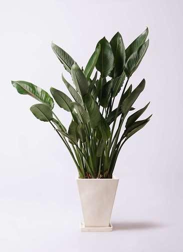 観葉植物 ストレリチア レギネ 10号 スクエアハット 白 付き