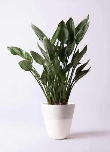 観葉植物 ストレリチア レギネ 10号 ジュピター 白 付き