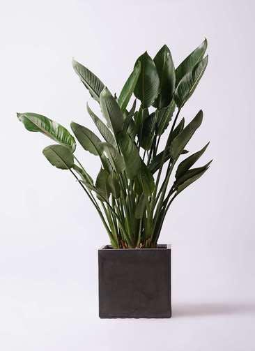 観葉植物 ストレリチア レギネ 10号 ファイバークレイ キューブ 付き