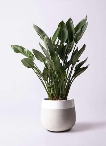 観葉植物 ストレリチア レギネ 10号 ファイバーストーンタウルス ミドル 白 付き