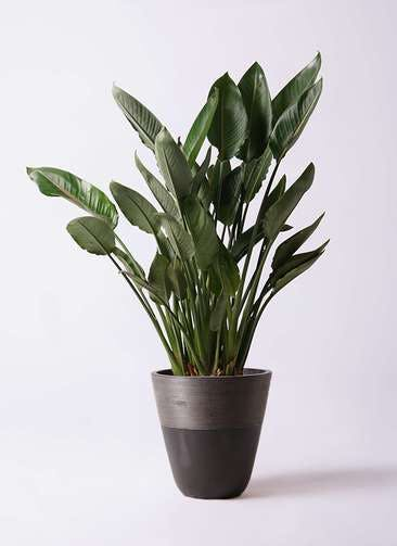 観葉植物 ストレリチア レギネ 10号 ジュピター 黒 付き