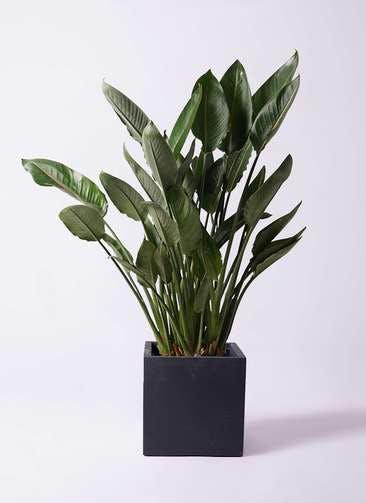 観葉植物 ストレリチア レギネ 10号 ベータ キューブプランター 黒 付き