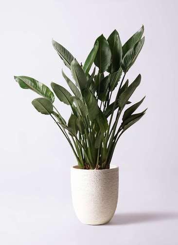 観葉植物 ストレリチア レギネ 10号 ビアスアルトエッグ 白 付き
