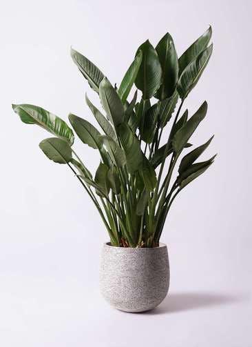 観葉植物 ストレリチア レギネ 10号 エコストーンGray 付き
