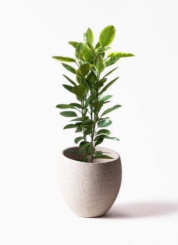 観葉植物 フィカス アルテシーマ 10号 3本立ち Eco Stone(エコストーン)  Light Gray 付き