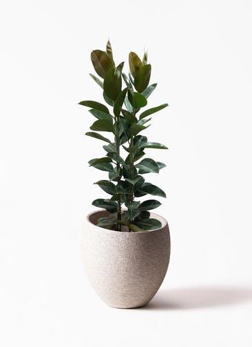 観葉植物 フィカス ロブスター 10号 ストレート Eco Stone(エコストーン)  Light Gray 付き