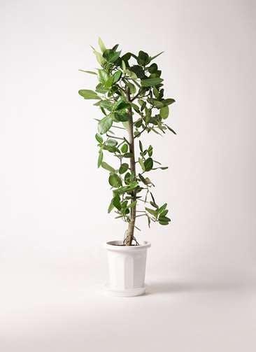 観葉植物 フィカス ベンガレンシス 10号 ストレート プラスチック鉢