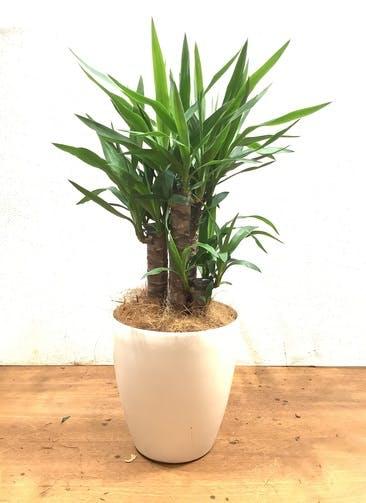 観葉植物 ユッカ 【83cm】 ユッカ 7号 #33897 ラスターポット付き