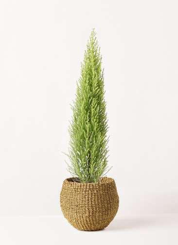 観葉植物 ゴールドクレスト 4号 ノーマル アバカバスケット オリーブ 付き