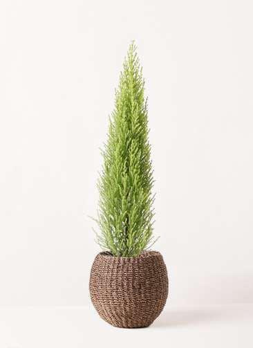 観葉植物 ゴールドクレスト 4号 ノーマル アバカバスケット スモーク 付き