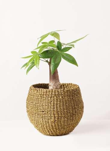 観葉植物 パキラ 4号 朴 アバカバスケット オリーブ 付き