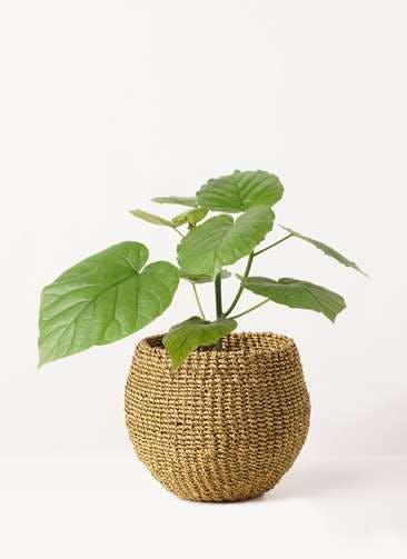 観葉植物 フィカス ウンベラータ 4号 ノーマル アバカバスケット オリーブ 付き