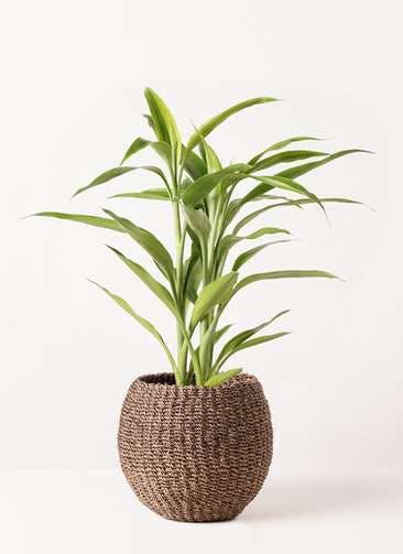 観葉植物 ドラセナ サンデリアーナ ゴールド 4号 アバカバスケット スモーク 付き
