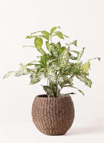 観葉植物 ドラセナ ゴッドセフィアーナ 4号 アバカバスケット スモーク 付き