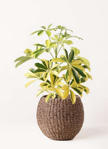 観葉植物 カポック(シェフレラ) 4号 斑入り アバカバスケット スモーク 付き