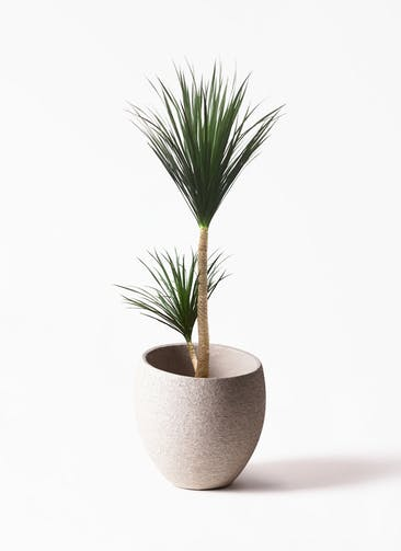 観葉植物 ドラセナ カンボジアーナ 10号 Eco Stone(エコストーン)  Light Gray 付き