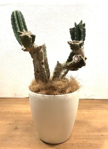 観葉植物 柱サボテン 【80cm】 柱サボテン 8号 #32547 ラスターポット付き