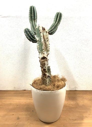 観葉植物 柱サボテン 【102cm】 柱サボテン 8号 #32544 ラスターポット付き