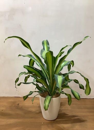 観葉植物 ドラセナ 幸福の木 【72cm】 ドラセナ 幸運の木 5号 #33137 ラスターポット付き