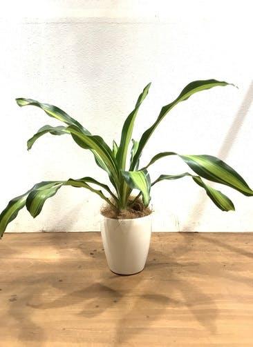 観葉植物 【68cm】ドラセナ 幸福の木  5号 #32898 ラスターポット付き