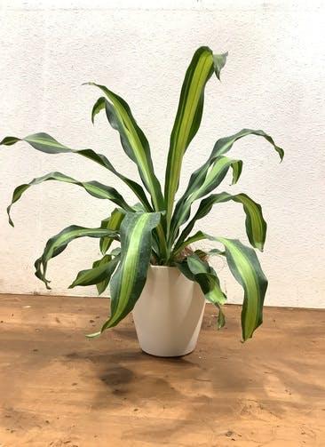 観葉植物 ドラセナ 幸福の木 【59cm】 ドラセナ 幸福の木 5号 #33129 ラスターポット付き