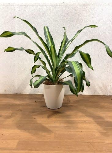 観葉植物 ドラセナ 幸福の木 【66cm】 ドラセナ 幸福の木 5号 #33130  ラスターポット付き