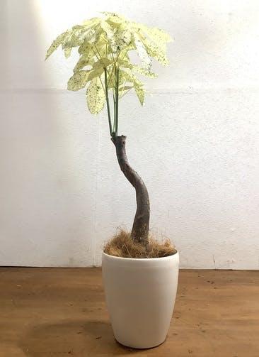 観葉植物 パキラ 【95cm】 パキラ 6号 斑入り #33475 ラスターポット付き