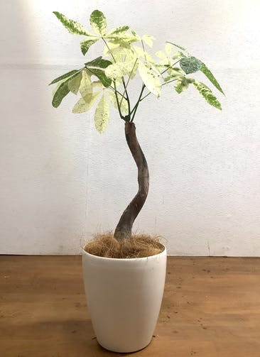観葉植物 パキラ 【82cm】 パキラ 6号 斑入り #33474 ラスターポット付き
