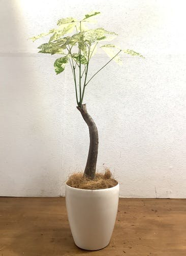 観葉植物 パキラ 【87cm】 パキラ 6号 斑入り #33473 ラスターポット付き