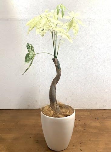 観葉植物 パキラ 【86cm】 パキラ 6号 斑入り #33472 ラスターポット付き