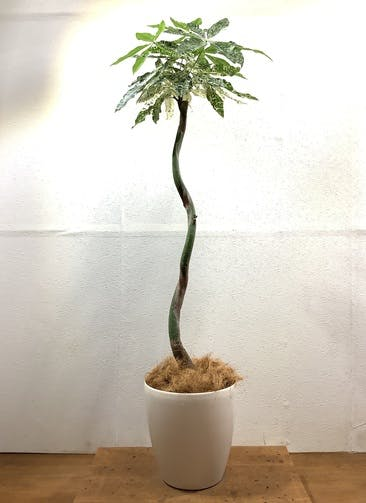 観葉植物 パキラ 【140cm】 パキラ 8号 斑入り #32435 ラスターポット付き