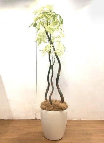 観葉植物 パキラ 【170cm】 パキラ 10号 #34264 ラスターポット付き
