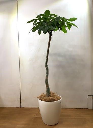 観葉植物 パキラ 【168cm】 パキラ 10号 #33150 ラスターポット付き