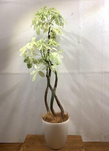 観葉植物 パキラ 【150cm】 パキラ 8号 斑入り #34607 ラスターポット付き