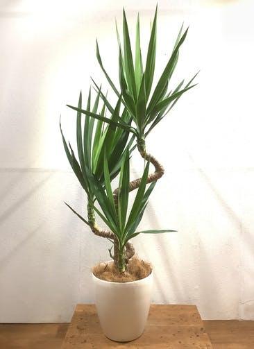 観葉植物 ユッカ 【143cm】 ユッカ 8号 #34603 ラスターポット付き