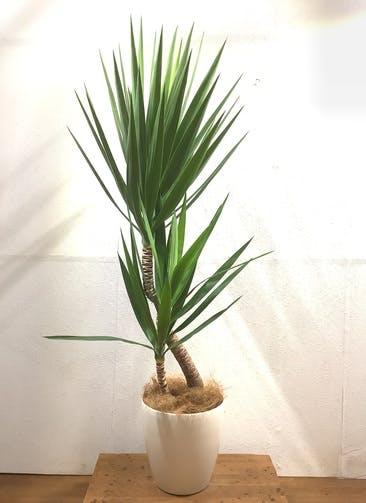 観葉植物 ユッカ 【159cm】 ユッカ 8号 #34597 ラスターポット付き