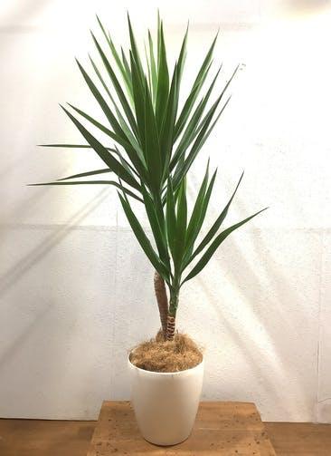 観葉植物 ユッカ 【161cm】 ユッカ 8号 #34598 ラスターポット付き