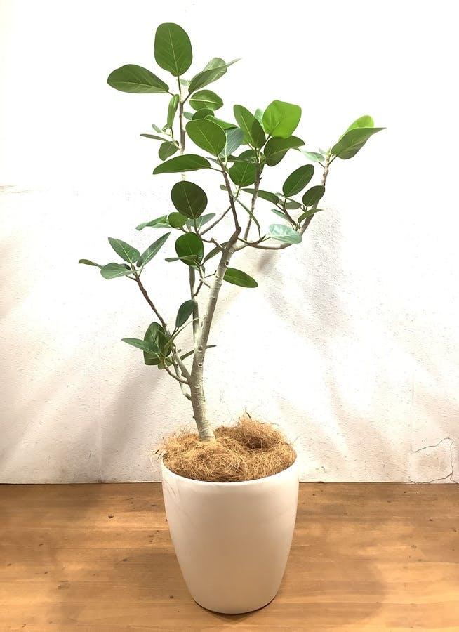 観葉植物 フィカス ベンガレンシス 【135cm】 フィカス ベンガレンシス 8号 #34636 ラスターポット付き