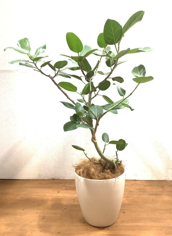観葉植物 フィカス ベンガレンシス 【115cm】 フィカス ベンガレンシス 8号 #34637 ラスターポット付き