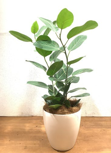 観葉植物 フィカス ベンガレンシス 【105cm】 フィカス ベンガレンシス 8号 #34641 ラスターポット付き