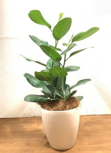 観葉植物 フィカス ベンガレンシス 【103cm】 フィカス ベンガレンシス 8号 #34642 ラスターポット付き