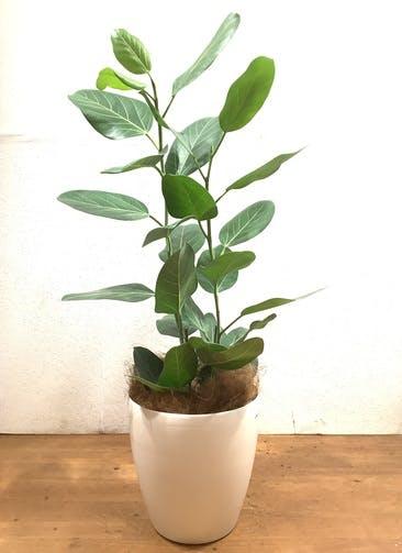 観葉植物 フィカス ベンガレンシス 【102cm】 フィカス ベンガレンシス 8号 #34643 ラスターポット付き