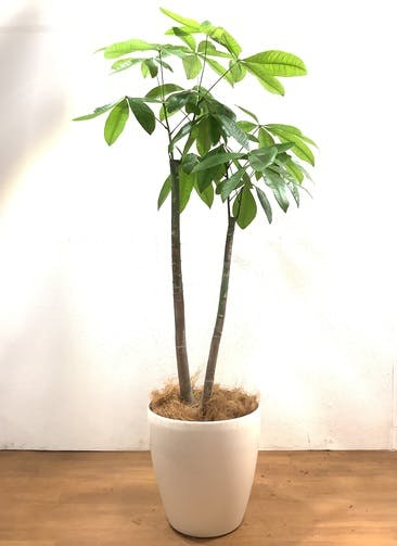 観葉植物 パキラ 【160cm】 パキラ 10号 #33161 ラスターポット付き