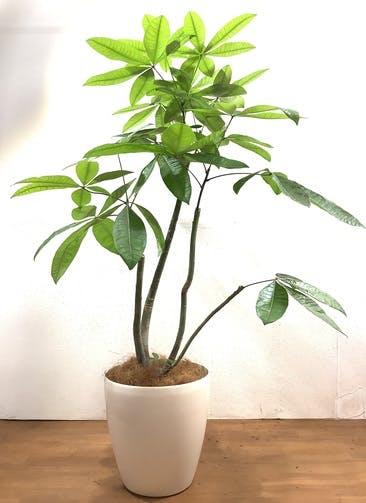観葉植物 パキラ 【156cm】 パキラ 10号 #33163 ラスターポット付き