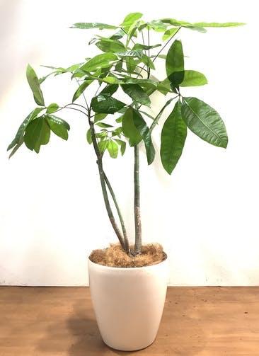観葉植物 パキラ 【162cm】 パキラ 10号 #33165 ラスターポット付き