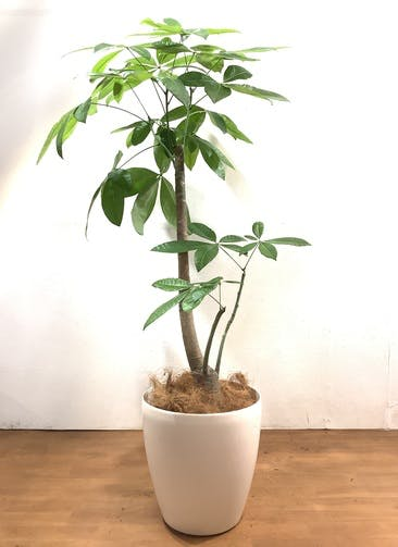 観葉植物 パキラ 【160cm】 パキラ 10号 #33164 ラスターポット付き