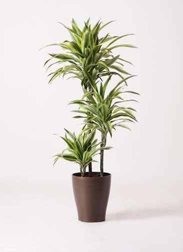 観葉植物 ドラセナ ワーネッキー レモンライム 8号 プラスチック鉢