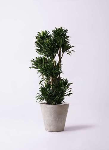 観葉植物 ドラセナ コンパクター 10号 アートストーン ラウンド グレー 付き