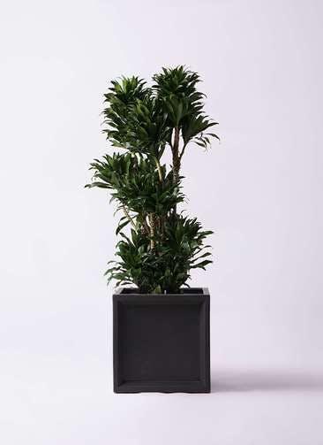 観葉植物 ドラセナ コンパクター 10号 ブリティッシュキューブ 付き