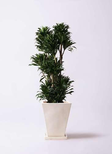 観葉植物 ドラセナ コンパクター 10号 スクエアハット 白 付き